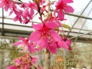 prunus-campanulata-cece-bencho130417-2