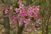 prunus-collinwood-ingram-cece090403-4