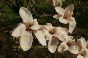magnolia-anne-rosse-herkenrode090405-003