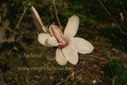 magnolia-anne-rosse-herkenrode090405-009
