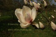 magnolia-candy-cane-herkenrode090405-3