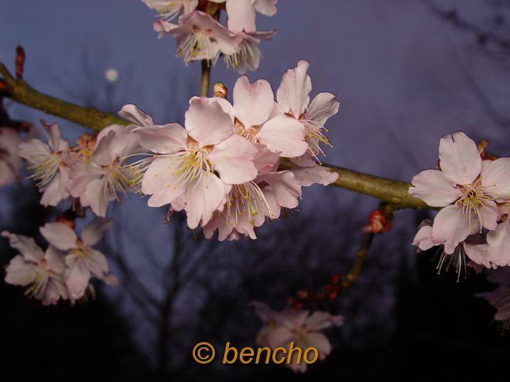 PrunushirtipesPinkofBray050322