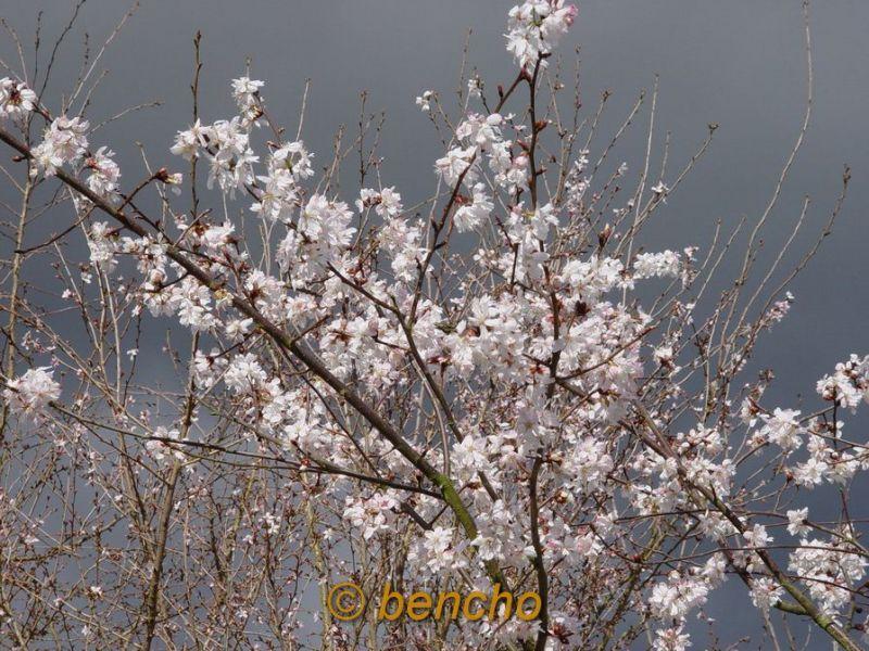 prunushirtipessemiplenacece060401a