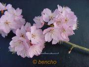 prunushirtipespinkofbraycece020308a