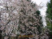 prunushirtipessemiplenacece010314